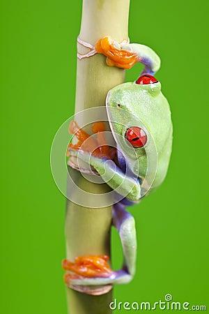 Free Frog Sitting On Bamboo Stock Photos - 13765503