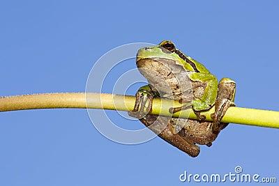 Frog on a stem