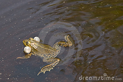 Frog swimming