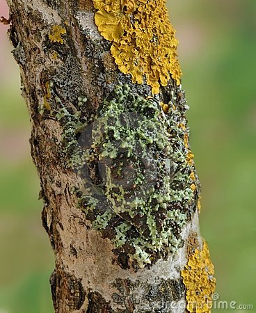 Free Frog Theloderma Corticale Royalty Free Stock Image - 18196296