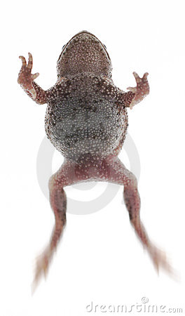 Free Frog Toad Royalty Free Stock Photo - 1125345