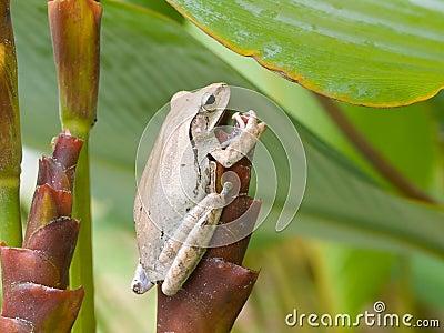 Frog on Tubular Bract