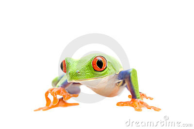 Frog walking isolated on white