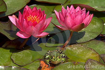 Frog and water lilies