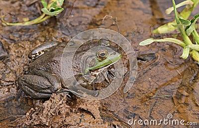 Frog in Wetland Habitat