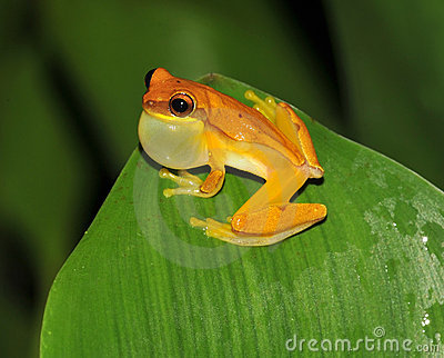 Frog,yellow hourglass tree frog,costa rica