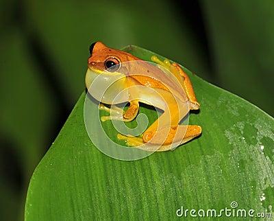 Frog,yellow hourglass tree frog,costa rica