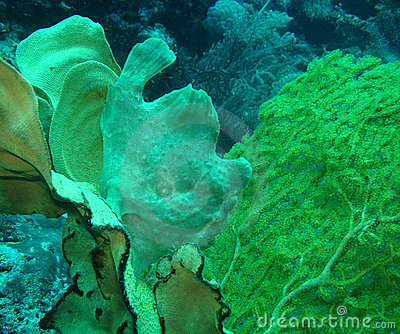 Frogfish.