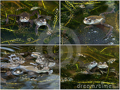 Frogs with Spawn in a Pond