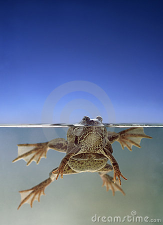 Frogs swimming in water