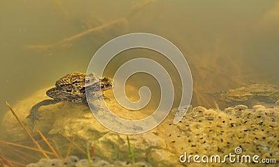 Frogs underwater (Rana temporaria)