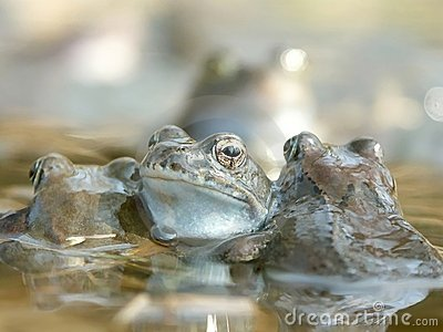 Frogs in a water