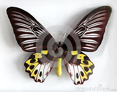 Froides Hypolitus a Beautiful giant butterfly