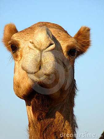 Front Face Arabian Camel Head Close Up Royalty Free Stock