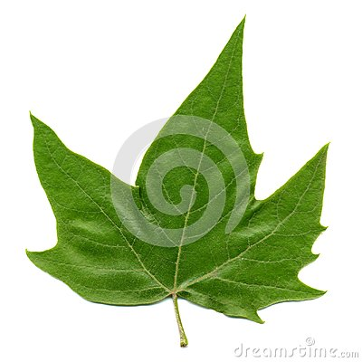 Free Front Side Of Plane (Platanus) Tree Leaf Isolated Over White Royalty Free Stock Image - 116268266