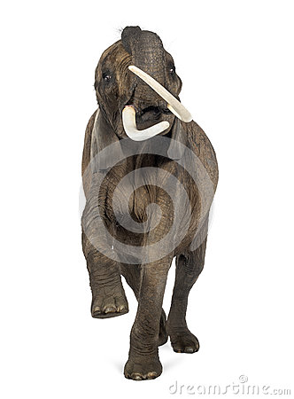 Front view of an African elephant lifting its trunk, isolated