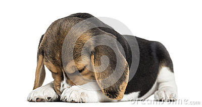 Front view of a Beagle puppy lying, hiding its face, isolated