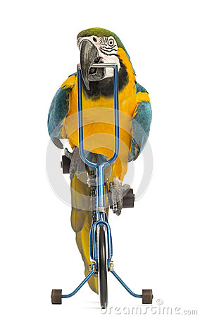Front view of a Blue-and-yellow Macaw, Ara ararauna, 30 years old, riding a blue bicycle