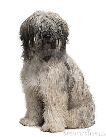 Front view of Catalan Sheepdog, sitting