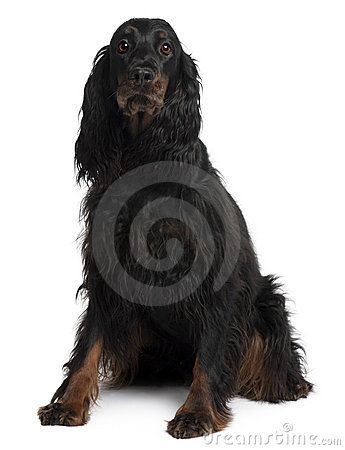 Front view of Gordon Setter dog, sitting