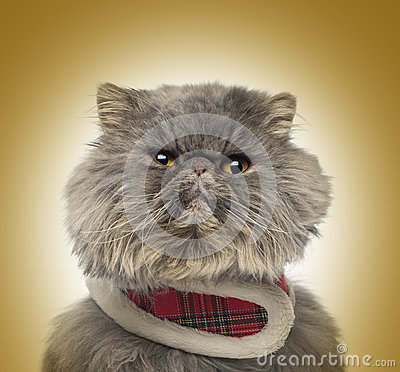 Front view of a grumpy Persian cat wearing a tartan harness