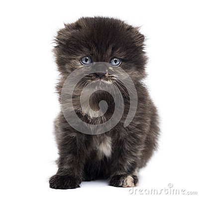 Front view of a Highland fold kitten looking at the camera