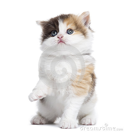 Front view of a Highland straight kitten pawing up, looking up