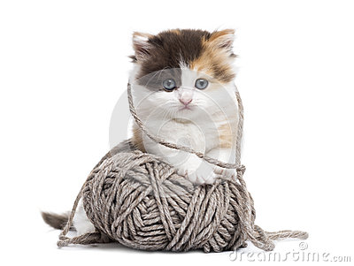 Front view of a Highland straight kitten playing with a wool ball