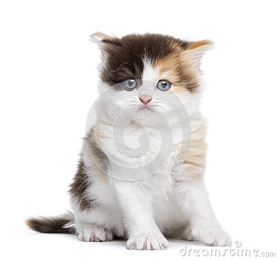 Front view of a Highland straight kitten sitting, isolated
