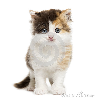 Front view of a Highland straight kitten standing, isolated