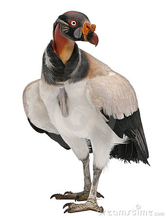 Front view of King Vulture, Sarcoramphus papa