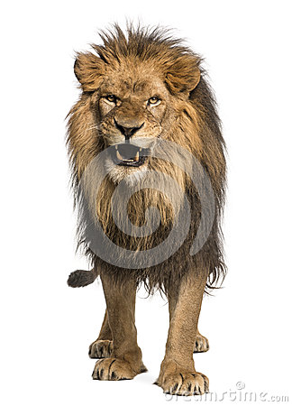 Front View Of A Lion Roaring, Standing, Panthera Leo Stock ...