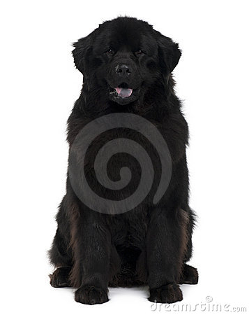 Front View Of Newfoundland Dog Sitting Royalty Free Stock Photo - Image: 12907695