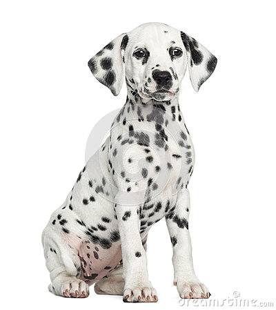 Free Front View Of A Dalmatian Puppy Sitting, Facing, Isolated Stock Photos - 34775773