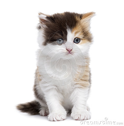 Free Front View Of A Highland Straight Kitten Sitting, Isolated Stock Photo - 34775100