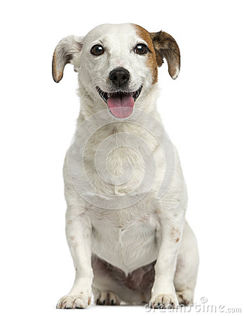 Free Front View Of A Jack Russell Terrier Sitting, Pant Stock Photo - 40409350