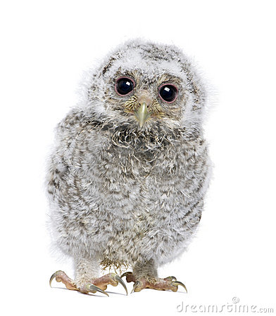 Free Front View Of A Owlet Looking At The Camera - Athe Stock Image - 9535431