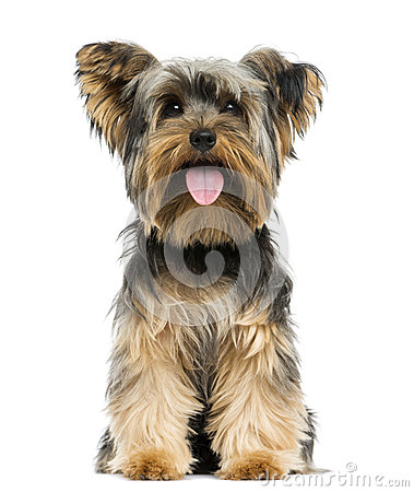 Free Front View Of A Yorkshire Terrier Sitting, Panting Stock Photos - 40409443