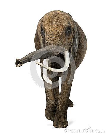 Free Front View Of An African Elephant, Lifting Its Trunk Stock Image - 32465951