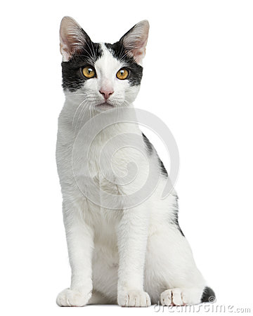 Free Front View Of An European Shorthair Kitten Sitting Stock Photo - 40409420