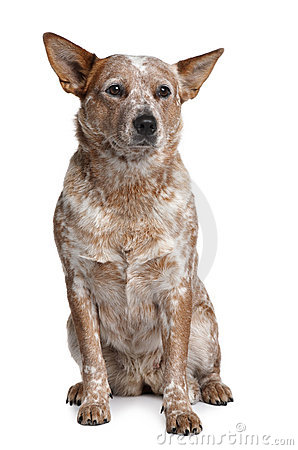 Free Front View Of Australian Cattle Dog, Sitting Stock Photos - 13664383
