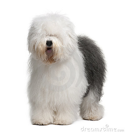 Free Front View Of Old English Sheepdog, Standing Stock Images - 12910174