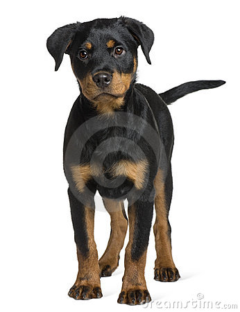 Front view of Rottweiler puppy, standing
