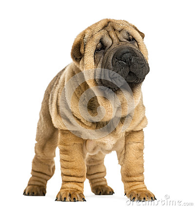 Front view of Shar pei puppy looking away (11 weeks old)