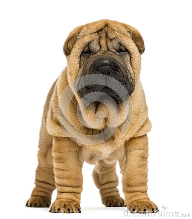 Front view of Shar pei puppy (11 weeks old)