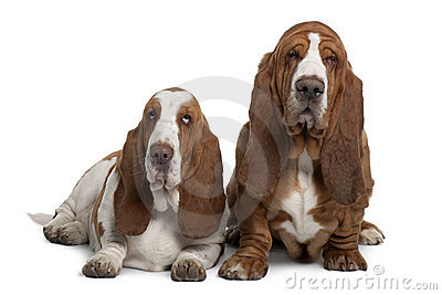Front view of Two Basset Hounds, sitting