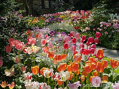 Front yard with tulips