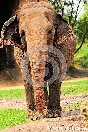 Frontal Elephant