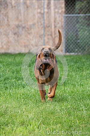 Free Frontier Hounds Alaska Bloodhound Royalty Free Stock Photos - 117038458