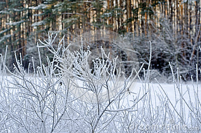 Frost on the bushes